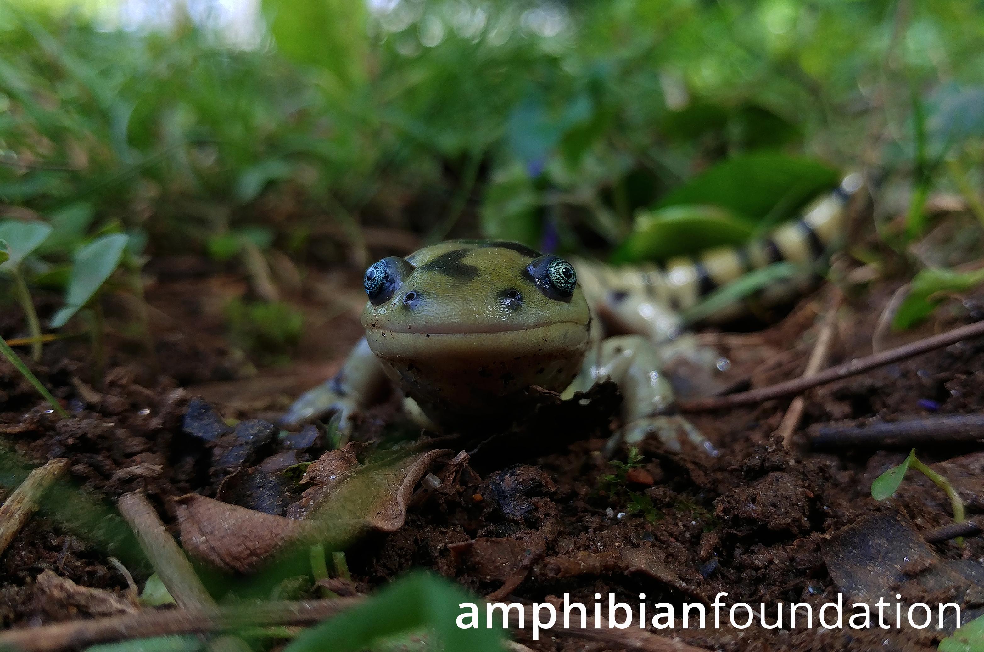 https://www.amphibians.org/wp-content/uploads/2019/05/AF-180330-Ambystoma-tigrinum.png