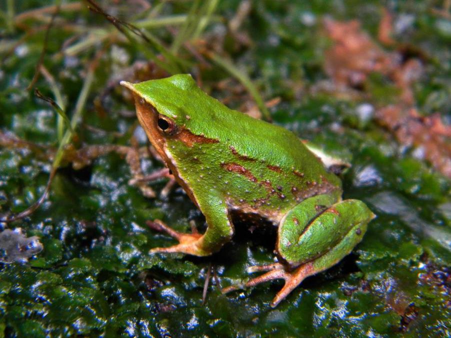 https://www.amphibians.org/wp-content/uploads/2020/07/rhinoderma_press.png